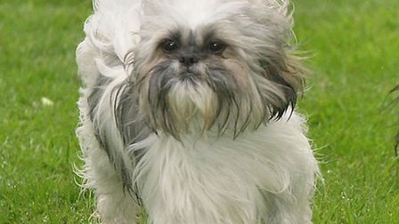 A shih tzu dog was seriously injured during a savage mauling by an out-of-control bullmastiff on Ham