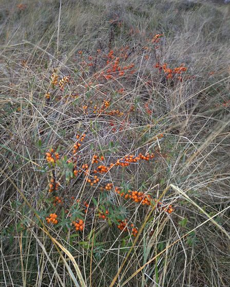 Sea buckthorn growing in the sand dunes at Grenen, Denmark, photo Emma Bartholomew