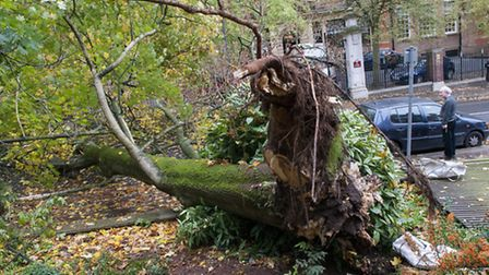 After the storm,a large Plane tree comes down in Frognal opposite UCS