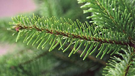 Photo of a Fraser fir tree close-up. Picture: PA Photo/British Christmas Tree Growers Association.