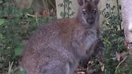 A still from footage taken in Highgate West Cemetery of the mystery wallaby which grabbed headlines