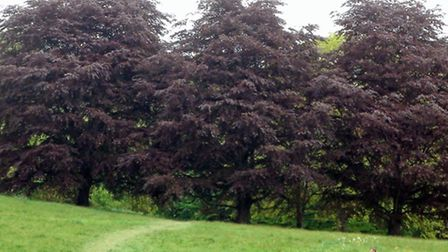English Heritage has today announced the copper beech trees next to Kenwood House will not be choppe