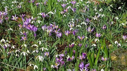 Spring has sprung early in Well Walk. Picture: Nigel Sutton.