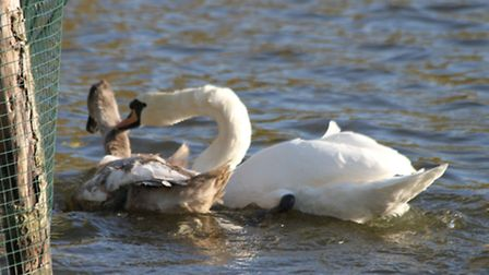 Mother swan nips a young female cygnet - one of the picture taken by Ron Vester over the years