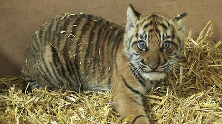 The tiger cubs get the once over from London Zoo's vets.