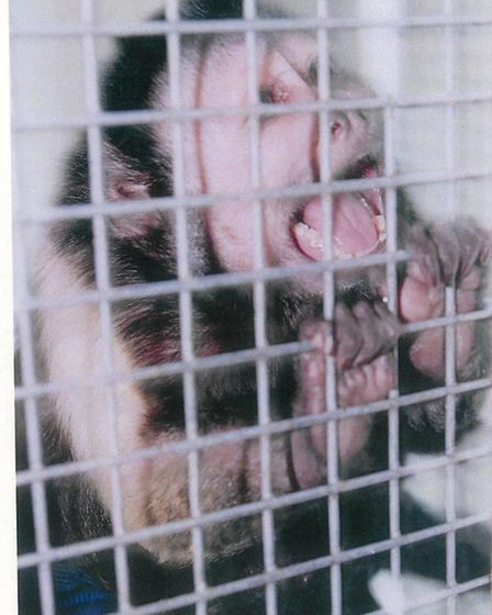 This monkey, Joey, was found caged at Juliette D'Souza's house in Willoughby Road, Hampstead