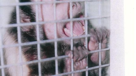 Joey the monkey, who was found at the house in Willoughby Road