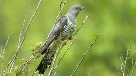 A cuckoo perched in the top of a tree in Co. Durham. Picture: John Bridges (rspb-images.com)