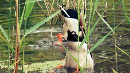 This fowl shot showing a pair of diving ducks has been crowned The Journal's Picture of the Week.Pho
