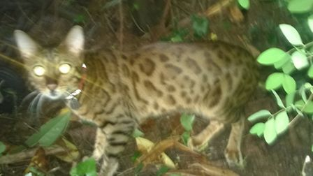 The leopard like cat has been visiting gardens in Shepherd's Hill and even popped into one woman's k