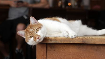 Legz, the three-legged cat, has inspired others to adopt rescue cats. Picture: Anna Branthwaite