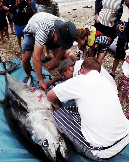 The bluefin tuna was gutted on the beach