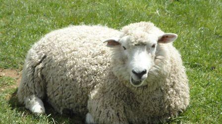 Sheep could have been brought back to Hampstead Heath