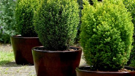 Three potted Conifers