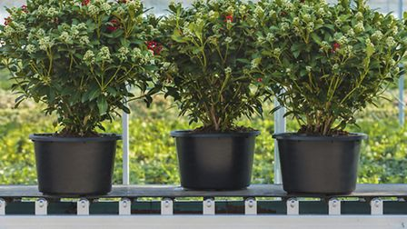 Skimmia plants in pots. PA Photo/thinkstockphotos