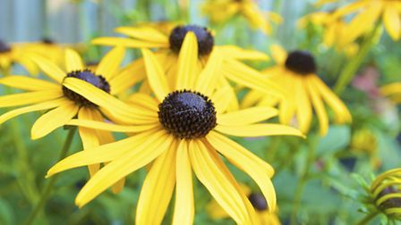 Rudbeckia. PA Photo/thinkstockphotos