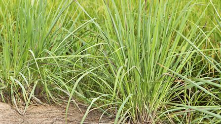 Lemon grass. PA Photo/thinkstockphotos.