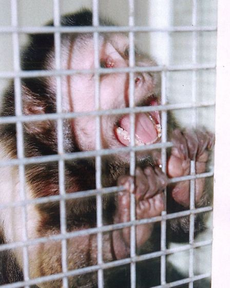 Monkey Joey found at home of Juliette D'Souza in Willoughby Road