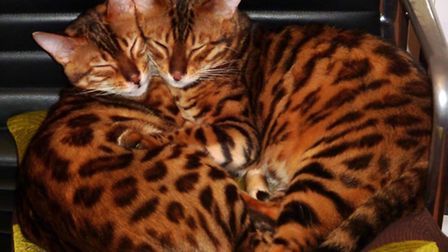 Rare Bengal breed cat Bean pictured here with his brother Kato - who are known as the Beasts of Shep