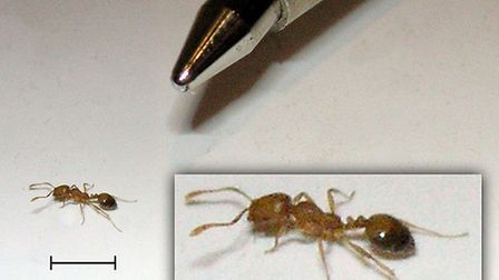 Tiny pharaoh ants are about 2mm in size. Picture: J-E Nystrom