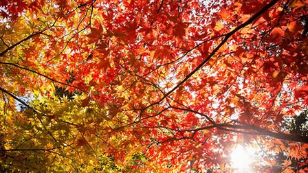 Acers in autumn, Westonbirt Arboretum. PA Photo/Forestry Commission.