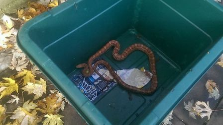 The 2m-long hissing corn snake was found lurking in a recycling box outside a West Hampstead home