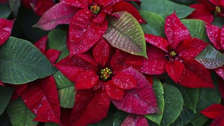 Poinsettias, PA Photo/thinkstockphotos.