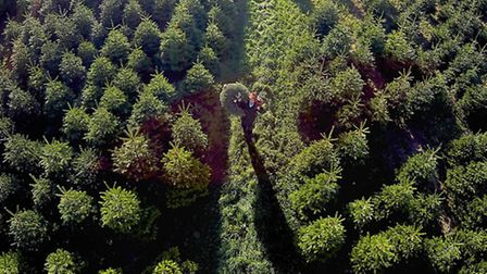 Christmas trees that will be sold by John Lewis. Pictured: Farmer Nicolai Olesen. PA Photo/Handout/J