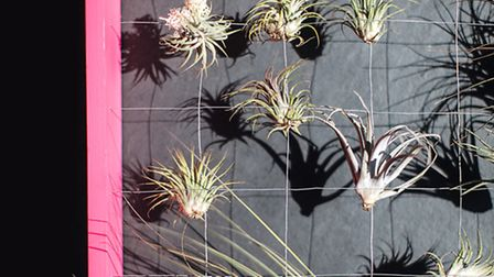 Neon pink hanger air plants. From The HOUSE GARDENER by ISABELLE PALMER, published by CICO Books (�2