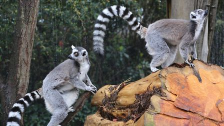 Lemurs in their new home at London Zoo