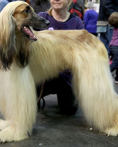An Afghan hound. Picture: PA Archive/Matt Alexander.