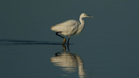 This excellent Egret shot taken at Hen Reedbeds, near Reydon, has won The Journal's Picture of the W