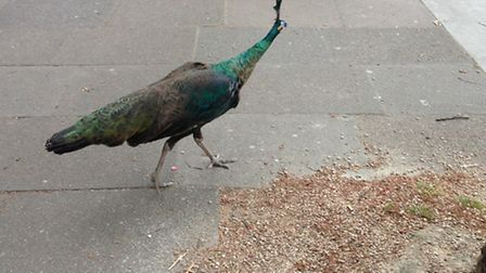 The peacock on Haverstock Hill, in Belsize Park, on Friday.