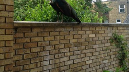 The peacock spotted perched on a wall near Finchley Road and Frognal station this morning. Picture: