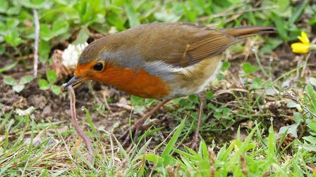 This shot of a Robin catching a worm was taken at Carlton Marshes. Photo: Georgina Brown.