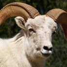 The sacrifice of a ram is said to be part of the bukusu tribe tradition