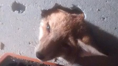 A fox was trapped in a wall