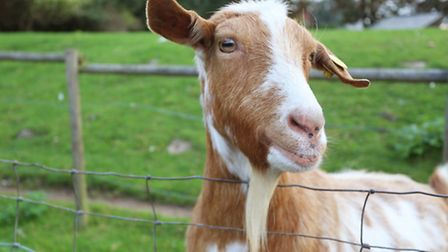 HCF is home to two goats