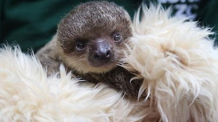 Edward the Sloth is being taught to feed and climb by surrogate mothers