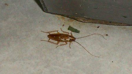 A cockroach found in the Royal India restaurant