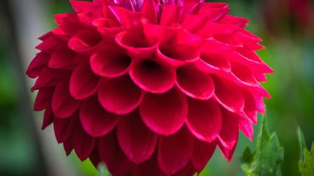 A red dahlia in full bloom.