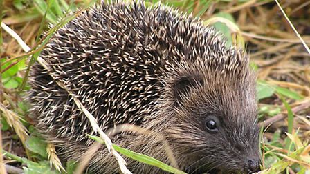 A 'hot spot' of hedgehogs is said to reside around the area designated for a HS2 lorry depot. Pictur
