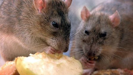 The number of rats is going up in Camden, according to pest control officers