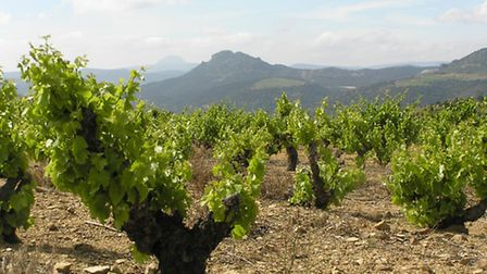 Old bush vines in Roussillon yield splendid whites and reds