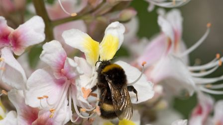 A bumblebee foraging on a freshly opened Indian horse chesnut flower with a yellow blotch, taken fro