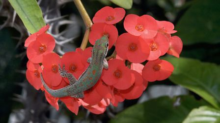 A day gecko laps up Euphorbia nectar, in Madagascar, taken from Pollination Power by Heather Angel,