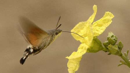 A hummingbird hawk-moth hovering to sip nectar from a loofah flower, in China, taken from Pollinatio