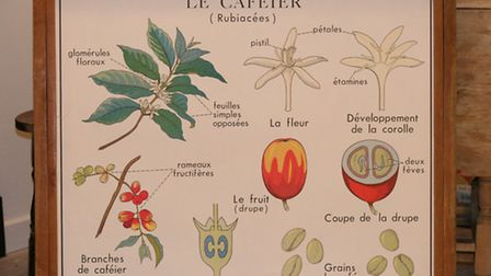 A Rossignol vintage French school poster showing the coffee plant (Le Cafeier)