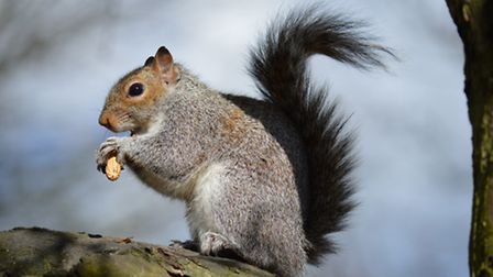 Feeding time for this squirrel in the park. Picture: Steve Plastow