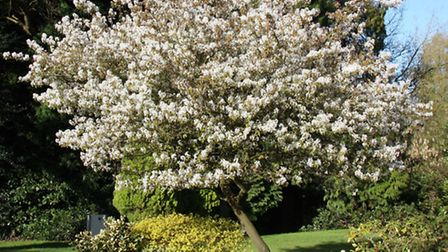 Amelanchier Ballerina. PA Photo/FrankPMatthews Nursery